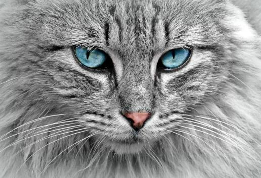 cat-animal-cat-portrait-mackerelsm