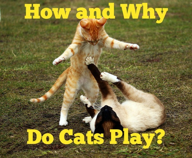 Why and How Do Cats Play?