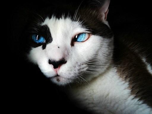 siamese-blue-eyes-cute-feline-39283sm