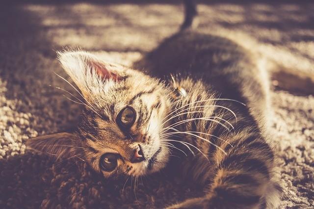 cat_climbing_structures_carpet