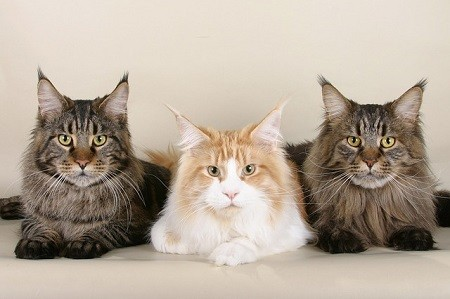 cat_climbing_structures_maine_coon_trio