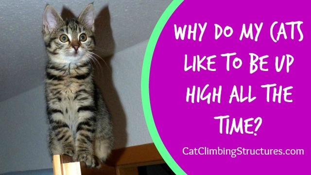 Why Do My Cats Like To Be Up High All The Time?
