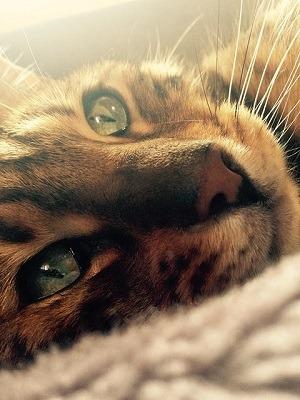cat_climbing_structures_bengal_cat_face