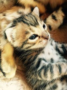 cat_climbing_structures_bengal_cat_kitten_newborn