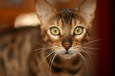 cat_climbing_structures_bengal_cat_portrait