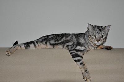 cat_climbing_structures_bengal_cat_relaxing