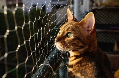cat_climbing_structures_bengal_cat_staring