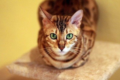 cat_climbing_structures_bengal_cat_tree