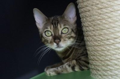 cat_climbing_structures_bengal_cat_tree_face