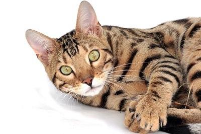 cat_climbing_structures_bengal_cats