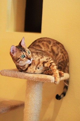 cat_climbing_structures_bengal_cats_tree