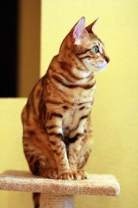 cat_climbing_structures_bengal_kitten_climbing_cat_tree