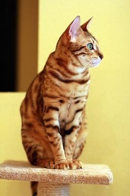 cat_climbing_structures_bengal_kitten_climbing_cat_tree