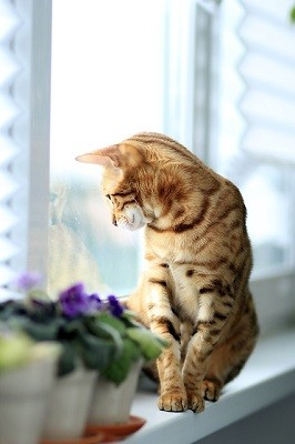 cat_climbing_structures_bengal_kitten_climbing_window