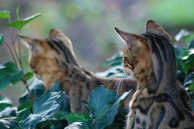 cat_climbing_structures_bengal_kittens_exploring