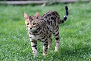 cat_climbing_structures_best_cat_trees_for_bengal_cat