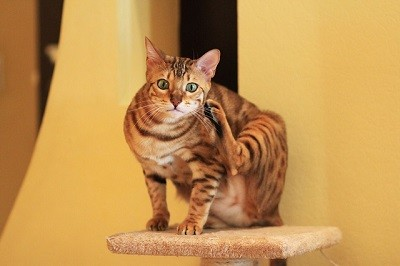 cat_climbing_structures_best_cat_trees_for_bengal_cats