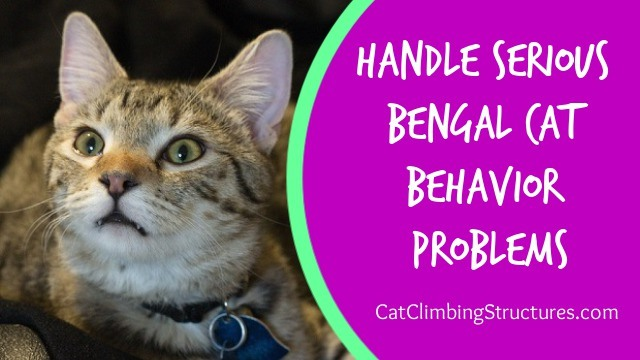 cat_climbing_structures_handle_serious_bengal_cat_behavior_problems