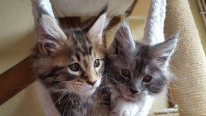 cat_climbing_structures_maine_coon_cat_kittens