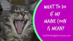 cat_climbing_structures_what_to_do_if_my_maine_coon_is_mean
