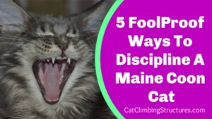 FoolProof_Ways_To_Discipline_A_Maine_Coon_Cat