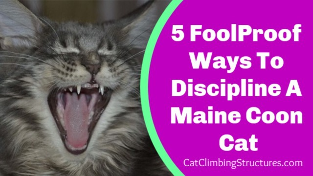 5 Fool-Proof Ways To Discipline A Maine Coon Cat
